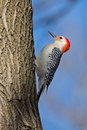 Red bellied woodpecker scaling a tree Royalty Free Stock Photo
