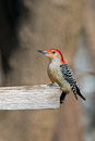 Red bellied woodpecker sitting on wooden platform Royalty Free Stock Photography