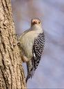 Red-bellied Woodpecker On A Tr...