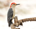 Red bellied woodpecker in winter after a rare snowfall central texas Stock Image