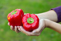 Red bellpeppers farmer s hands holding two beautiful Stock Photography