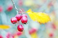 Red berres and a yellow leaf of a tree branch autumn nature blurred background Stock Photos