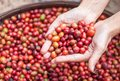 Red berries coffee close up beans on agriculturist hand Stock Photos