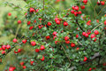 Red berries cotoneaster shrub with Royalty Free Stock Images