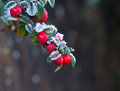 Red Berries With Frost Royalty Free Stock Photography
