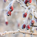 Red berries on the frozen branches winter background covered with hoarfrost Royalty Free Stock Photo