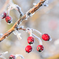 Red berries on the frozen branches winter background covered with hoarfrost Royalty Free Stock Image