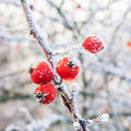 Red berries on the frozen branches winter background covered with hoarfrost Royalty Free Stock Photos