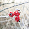 Red berries on the frozen branches winter background covered with hoarfrost Stock Photo