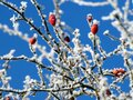 Red berries on frozen hawthorn tree