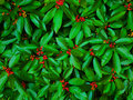 Red Berries In Green Leaves