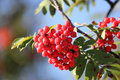 Red berries and green leaves Royalty Free Stock Photo