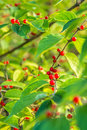 Red berries on green leaves closeup nature macro of growing branches with in morning sunlight Royalty Free Stock Photos