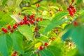 Red Berries On Green Leaves