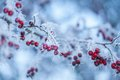 Red Berries in hoarfrost Stock Image