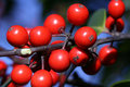 Red Berries on Holly Tree in Forest Stock Images