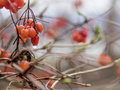 Red Berries In Rain