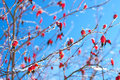 Red berries of a rose-hip in the winter in snow Royalty Free Stock Photo