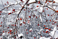 Red berries and snow Royalty Free Stock Photo