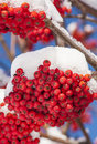Red Berries in Snow Royalty Free Stock Photo