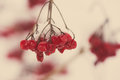 Red berries in the snow with frost aged photo and blur background effect vintage retro Royalty Free Stock Photos