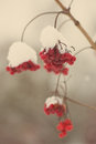 Red berries in the snow with frost aged photo and blur background effect vintage retro Stock Photo