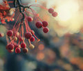 Autumn Red Berries And Sunset