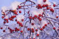Red Berries Under Snow Stock Images
