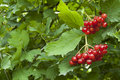 Red berries of the viburnum Royalty Free Stock Photos