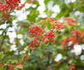 Red berries of the viburnum on branch Royalty Free Stock Photography