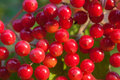 Red berries of the viburnum on branch Royalty Free Stock Images
