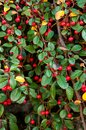 Red berry with green leaves Royalty Free Stock Images