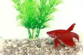 Red Beta Fish In A Small Fish Bowl Royalty Free Stock Photos