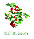 Red bilberry with leaves watercolor illustration Stock Image