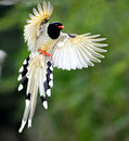 Red-billed Blue Magpie Stock Photos