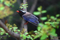 The red billed blue magpie closeup shot Royalty Free Stock Photography
