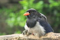Red billed blue magpie the sitting on the wood Royalty Free Stock Image