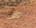 Red-billed Firefinch,male Stock Photography