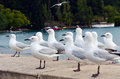 Red billed gull gulls in queenstown new zealand Royalty Free Stock Photo
