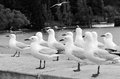Red billed gull gulls in queenstown new zealand bw Royalty Free Stock Photo