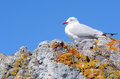 Red billed gull sit on a rock Stock Images