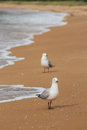Red billed gulls on beach picture of Royalty Free Stock Photos