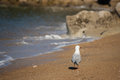 Red billed guls on beach picture of gull with blurred background Royalty Free Stock Photography