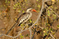 Red-billed Hornbill bird Stock Images