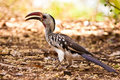 Red-billed Hornbill bird on the ground Royalty Free Stock Photo