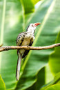 Red-billed hornbill in chiangmai zoo, chiangmai Thailand Royalty Free Stock Photo