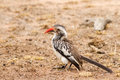 Red billed hornbill on the ground in south africa kruger national park Stock Photography