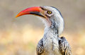Red billed hornbill kruger national park south africa head and face Royalty Free Stock Photo