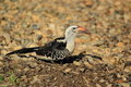 Red-billed hornbill Royalty Free Stock Photo
