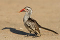 Red billed hornbill standing on ground looking and begging for f Royalty Free Stock Photo